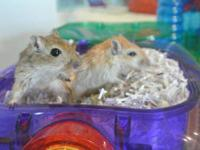 Gerbil - Gerbils - Small - Young - Female - Small &
