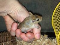 Gerbil - O'riley - Small - Young - Female - Small &