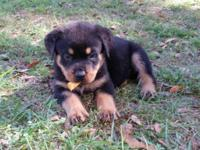 germn rottweiler champion with descendants Yugoslavia 1