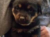 I'm a cute Akc German Rottweiler. My moms and dads are