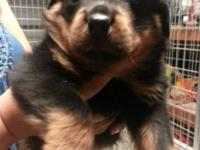I have 2 gorgeous male Rottweiler puppies offered
