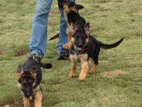 We are Wustenberger-Land German Shepherds an award