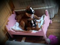 German Boxer puppies out of 36 year genetic defect free