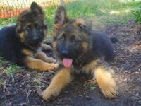 Import Long Coat Male puppy - 9 weeks old. These