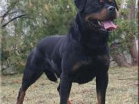 Nice adult Rottweiler. Top German lines. Produces great