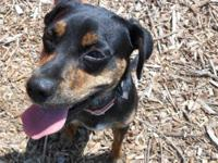 German Pinscher - Rocky--only $125! - Small - Young -
