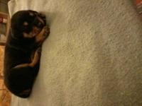 Beautiful German Rottweiler female puppy with first