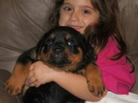 AKC German Rottweiler Puppy beautiful mates & females