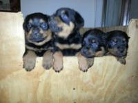 Beautiful German Rottweiler Puppies Huge Block Heads