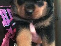 German Rottweiler new puppies are now all set to go. 1
