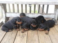 TAKEN DEPOSITS ON PUPPIES AT THE MOMENT. DEPOSIT IS