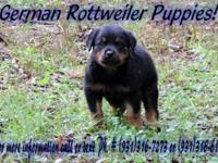 The parents are full German Rottweilers they are black