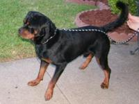 BIG BEAUTIFUL GERMAN ROTTWEILER PUPPIES AND THEY ARE