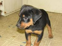These are CKC registered German Rottweiler pups