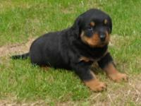 Animal Type: Dogs Breed: Rottweiler Beautiful German