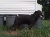 Guard Dogs k-9s for home protection German Rottweiler