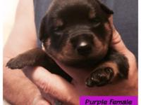 German Rottweiler puppies for rehoming just in time for