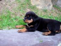 Animal Type: Dogs German Rottweiler Puppies..xoxo Cute