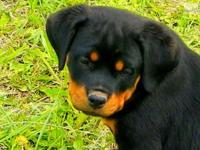 This girl is an amazing and powerful rottweiler puppy.