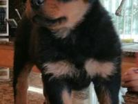 I have 6 beautiful purebred German Rottweiler pups for