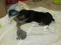 These are CKC registered German Rottweiler puppies with