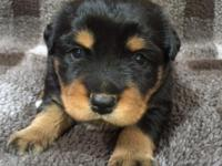 AFFORDABLE - German Rottweiler/Shepherd Mix Puppies for