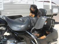 We have 3 Male German Rottweiler Puppies. Father and