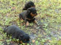 I have 3 German Rottweiler puppies for sale that is