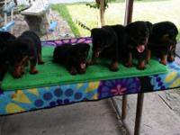 GERMAN ROTTWEILLER PUPPIES 4 MALE AND 4 FEMALES 7 WEEKS