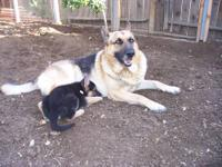 I am looking for a german russian sheperd mix