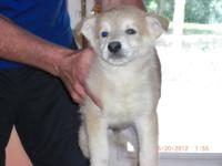 White King German Shepards Very beautiful puppies...