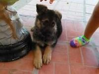 Female full breed german shepard, Shots, dewormed & vet