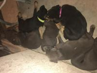 7 female Doberman/German Shepard mix puppies 3 black