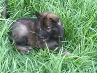 Born 4/21/2012 Mom AKC German Shepard Dad Husky. Babies