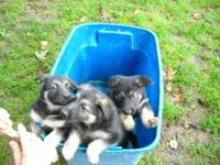 Pure Breed German Sheppard Puppies 13 weeks old. 2