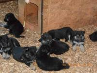 Available....Beautiful-Loveable and adorable AKC / CKC