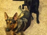 Born 11-17-12. Two sable males and two black/tan