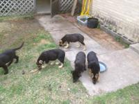 I have six German Shepard puppies for sale. Two are