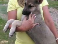 Absolutely gorgeous 16 week old German Shepard pups.