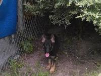 Germans Shepard Puppies for sale Mother and Father are