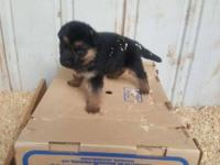 I am selling 3 male 2 female German Shepards puppies