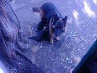 I HAVE 8 ADORABLE FULL BLOOD GERMAN SHEPARD PUPPIES FOR