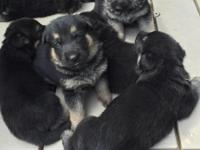 6 Males, Purebred taking deposits now. Healthy,
