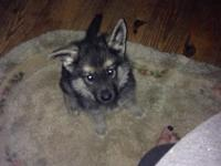 AKC male German shepard young puppy black and silver.