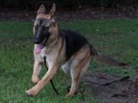 Freya  Amazing 8 Month Old Purebred German Shepherd
