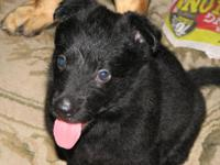 FAMILY RAISED (not a puppy mill) 2 gsd puppy for sale