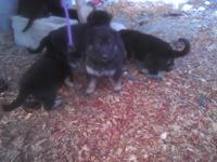 German shepard puppies, 5 boys and 4 girls! They come