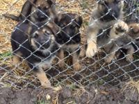 AKC German Shepard pups eight weeks old on Jan
