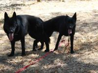 Exciting Female (spayed) German Shepard. JET BLACK. She