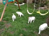 ** CKC ** Beautiful 9 week old young puppies, Snow